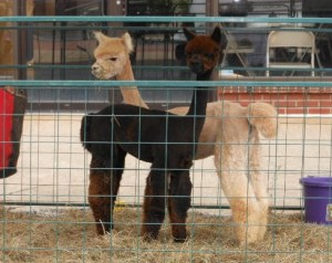 Alpaca's at Arts Alive Quakertown 2013